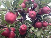 Prespanski Jabolka