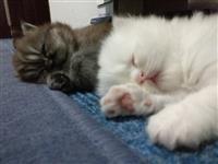 2 Persiski macinja so dolgi vlakna