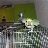 Golem Aleksandar papagal