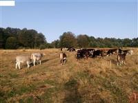 Stelni kravi i bikovi