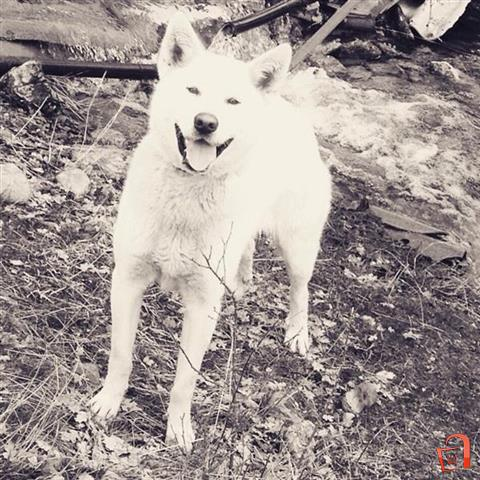 Ad Ubava haska For sale, Resen, SPORTS AND RECREATION, Pets, Dogs