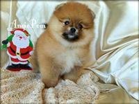Boo Pomeranian