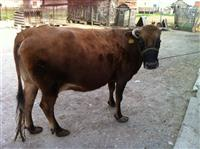 Krava za meso
