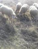 Ovci vo Veles