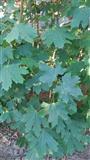 Rasadnik drvo Javor Acer platanoides