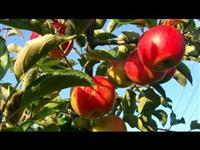 Nasad so jabolka Carev Dvor