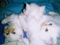 Persiski macinja