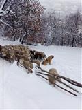 Ovci cena po dogovor