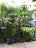 Palmi Trachycarpus fortunei
