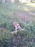Angliski buldog English Bulldog