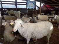 32 ovci koi se 18 objagneti i 36 jagninja