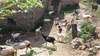 Kozi od planinsko cisto ekolosko mesto