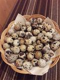 Svezi jajca od japonska prepelica