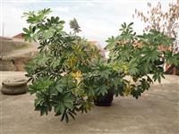 Salonski cvekinja Seflera