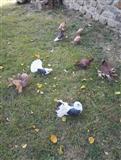 Ukrasni gulabi golubi