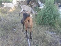 Alpinki sanski 45 kozi moze i zamena ima seno