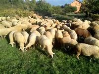 Stado so ovci