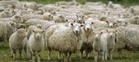 250 ovci