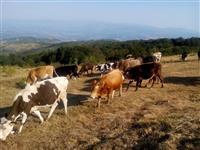 Pasitni kravi