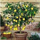 Sadnici limoni