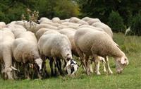 Se kupuvaat ovci