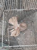 Gulabi zajaci patki