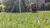 Germanski terier