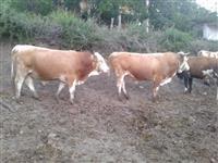 Telinja kravi