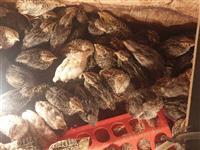 Pilinja od Japonski prepelici