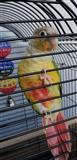 Racno hranet papagal Pyrrhura Ananas EDINSTVEN!