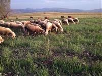 Ovci i jagninja