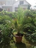 Ukrasni palmi