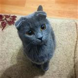 Scottish fold macinja