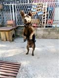 Germanski Terier 7 meseci star