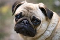 Pug mops