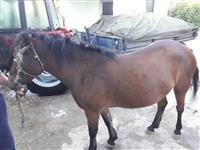 6 godisna kobila